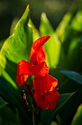 Red Gladiolus Photos - Gladiolus Flower by Alexander Senin