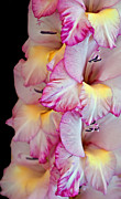 Natural Photos - Gladiolus Flower Pink and White by Valerie Garner