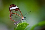 Bahadir Yeniceri - Glass Wing Butterfly