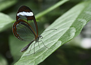 Glasswing Butterfly Print by Lucie Bilodeau