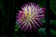Conservatory Of Flowers Photos - Glenbank Twinkle Dahlia by Glenn Franco Simmons