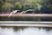 Wading Bird Photos - Gliding Couple by Douglas Barnard