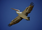Australian Open Metal Prints - Gliding Pelican Metal Print by Heng Tan