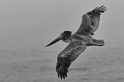 Sea Birds Posters - Gliding Pelican in Black and White Poster by Sebastian Musial