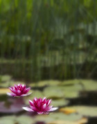 Water Lily Photos - Gliding by Rebecca Cozart