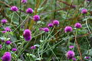 Fall Photos Originals - Globe Amaranth Flowers by Ruth  Housley