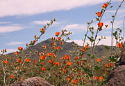 Sharon I Williams - Globe Mallow