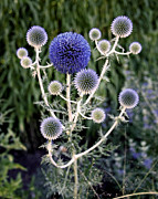 Blue Flowers Photo Posters - Globe Thistle Poster by Rona Black