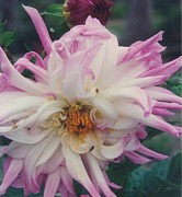 Robert Bray Metal Prints - Glorious Dahlia Metal Print by Robert Bray