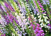 Flower Gardens Prints - Glorious Foxgloves Print by Carol Groenen