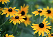 Florida Flowers Photos - Glorious Garden of Black Eyed Susans by Sabrina L Ryan