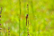 Dragon Fly Photo Framed Prints - Glorious Golden-winged Framed Print by Al Powell Photography USA