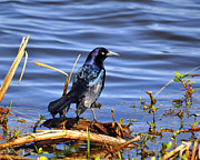 Common Grackle Posters - Glorious Grackle Poster by Al Powell Photography USA