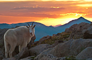 Mount Evans Framed Prints - Glorious Mountain Goat Sunset Framed Print by Mike Berenson