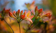 Rhododendron Photos - Glorious Orange Blooms by Mike Reid