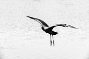 Body Digital Art - Glossy ibis flying dynamics  by Yevgeni Kacnelson