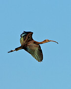 Paul Scoullar - Glossy Ibis  in flight.