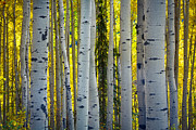 Colourful Bark Prints - Glowing Aspens Print by Inge Johnsson
