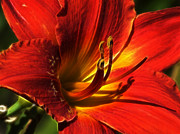 Sandra LaFaut - Glowing Day Lily