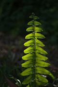 Fern Originals - Glowing Fern by Mohd Shukur Jahar