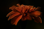 Carol Sawyer - Glowing Flower In The...