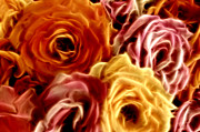 Warm Tones Prints - Glowing Full Roses Print by Linda Phelps