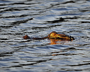 Reptilia Prints - Glowing Gator Print by Al Powell Photography USA