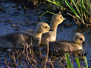 Tim Moore Metal Prints - Glowing Goslings Metal Print by Tim Moore