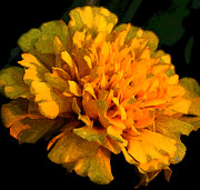 Karen Harrison - Glowing Marigold