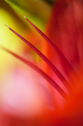 Jenny Rainbow - Glowing Red. Lily Macro Abstract