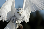 Canadian Wildlife Posters - Glowing Snowy Owl in Flight Poster by Inspired Nature Photography By Shelley Myke