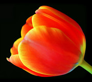 Florescence Posters - Glowing Tulip Poster by Darren Fisher