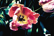 Marion McCristall - Glowing Tulip