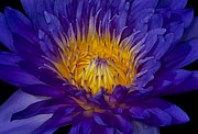 Colorful Digital Art - Glowing Waterlily by Susan Candelario