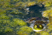 Frogs Photos - Glub Glub by Rebecca Cozart