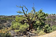 Rich Rauenzahn - Gnarled Tree on the Lava...