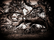 Old Tree In Charleston Prints - Gnarly Limbs at the Ashley River in Charleston Print by Susanne Van Hulst