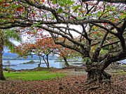Grass Roots Prints - GNARLY TREES of SOUTH HILO BAY - HAWAII Print by Daniel Hagerman
