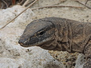 Goanna Photos - Goanna by Jeff Poole