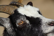Goat 5d27189 Print by Wingsdomain Art and Photography