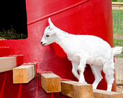 Laurel Best - Goat at Play