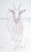Goat Drawings - Goat by Mike Jory