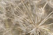 Neutral Background Framed Prints - Goatsbeard Framed Print by Anne Gilbert