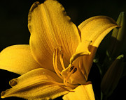 Lilies Digital Art - Going for Gold by Camille Lopez