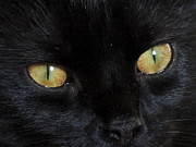 Golden Eye Cat Photos - Gold Black Cat Eyes - Portrait of a Rescued Cat by JB Ronan