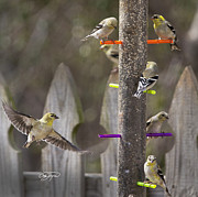 Cris Hayes Art - Gold Finch Cleared for Landing by Cris Hayes