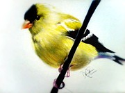 Finch Drawings Metal Prints - Gold Finch Metal Print by Desire Doecette
