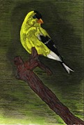 Finch Drawings Metal Prints - Gold Finch  Metal Print by Don  Gallacher
