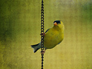 Feathered Creature Framed Prints - Gold Finch on Chain Framed Print by Sandy Keeton