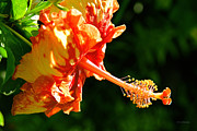 China Rose Prints - Gold Mine Hibiscus Print by Eric Evans